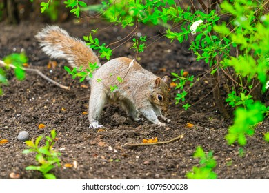 Grey squirrel (Sciurus carolinensis) burying a nut - closeup with selective focus