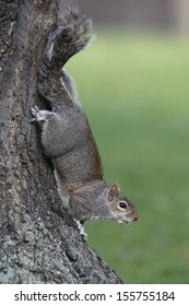 Grey squirrel, Sciurus carolinensis, single animal climbing down a tree, London, March 2010