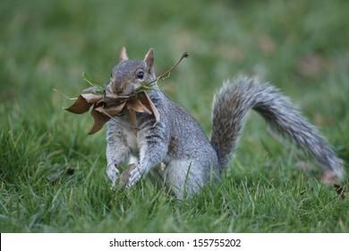 Grey squirrel, Sciurus carolinensis, single animal with nest material, London, March 2010