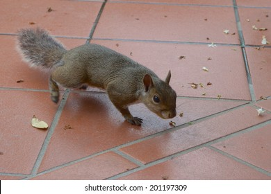 A grey squirrel searching for food