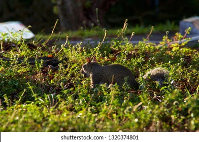A grey squirrel from the side about to run holding a nut in its mouth surrounded by little flowers and morning light.