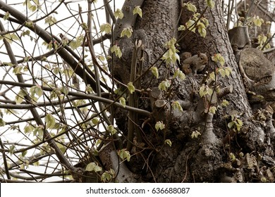 Grey squirrel sitting in hollow of tree guarding it's nest