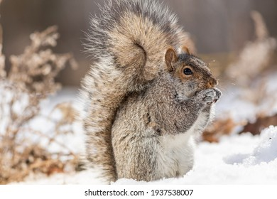 Grey squirrel in winter scenery.
