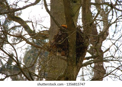 Grey squirrels build their nests on trees. They use twigs and leafs for their nest. (Sciurus carolinensis)