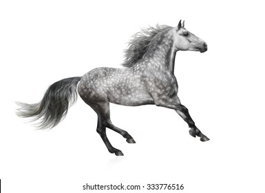 The grey stallion of the Andalusian breed gallops on white background