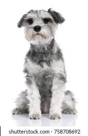 Grey Standard Schnauzer puppy sitting (7 months old) in front of a white background