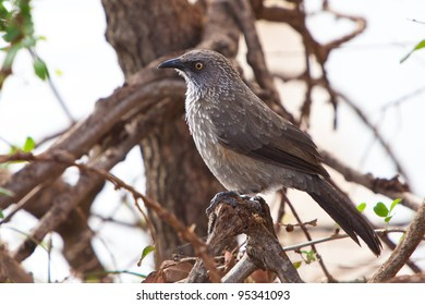 Grey starling bird sitting on a branch in a tree
