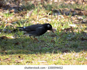 Grey starling in the grass field