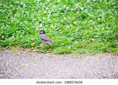 grey starling walking on clover.