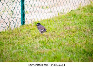 grey starling walking on lawn.