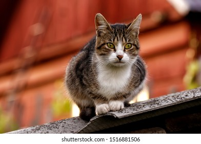 A grey striped cat with green eyes sitting on the edge of a small barn roof. Warm autumn rural scene with pet on the background of a red house.