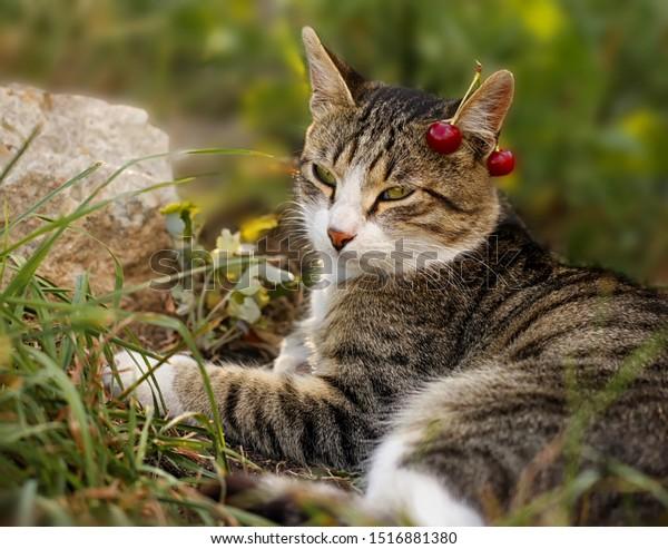 Серый полосатый кот, с зелеными глазами и вишнями на ухе, отдыхает в траве.  Теплый летний сад сцена с домашним животным.
