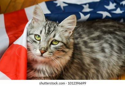 the grey striped cat lies on the American flag on the day of the holiday. green eyes look into the camera