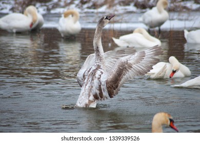 The grey swan is trying to fly on the swan's lake.
