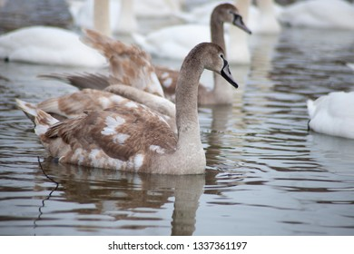 Grey swans on the lake.