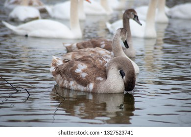 Grey swans on the winter lake
