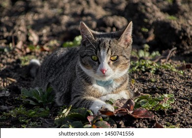 a grey tabby cat in portrait on a field. She looks directly into the camera, you can see the green eyes, the white nose and the fine drawing in the fur as well as a blue gps transmitter at the neck.