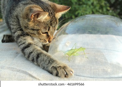 Grey tabby cat stretched it's paw with claws put out trying to get grasshopper from under glass dish