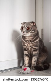 Grey tabby playful scottish fold cat with amber eyes sitting in the corner near his toy mouse