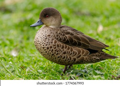 Grey Teal in New Zealand