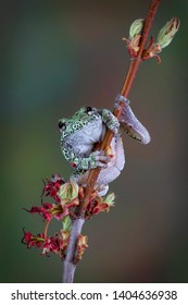 A grey tree frog is facing the camera while on a budding maple tree branch in the spring.
