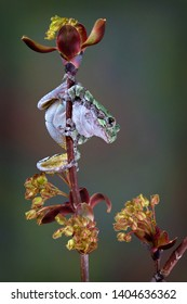 A grey tree frog is on a budding maple tree branch in the spring.