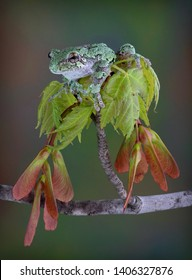 A grey tree frog is sitting on top of new spring maple leaves.