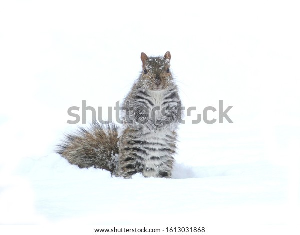 Grey tree squirrel in the snow with snowflakes on his fur