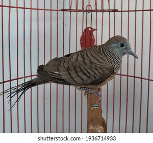 Grey turtledove in the cage. This bird is a species in Java, Indonesia