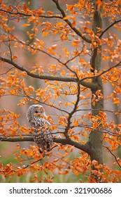 Grey Ural Owl, Strix uralensis, sitting on tree branch, in orange leaves oak autumn forest, bird in the nature habitat, France.