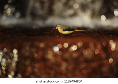 Grey wagtail in feflection