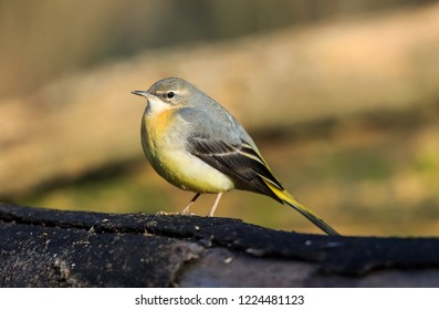 The grey wagtail is a member of the wagtail family, Motacillidae. The species looks somewhat similar to the yellow wagtail but has the yellow on its underside.