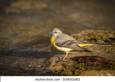 The grey wagtail is more colourful than its name suggests with slate grey upper parts and distinctive lemon yellow under-tail. Its tail is noticeably longer than those of pied and yellow wagtails.