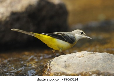 Grey Wagtail (Motacilla cinerea) in a forest stream