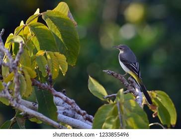 Grey Wagtail (Motacilla cinerea), Greece