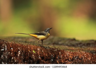 Grey wagtail on water