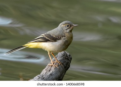 grey wagtail perched over water