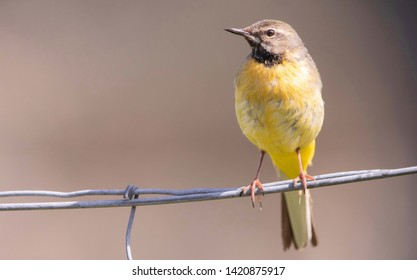 grey wagtail sitting on a fence