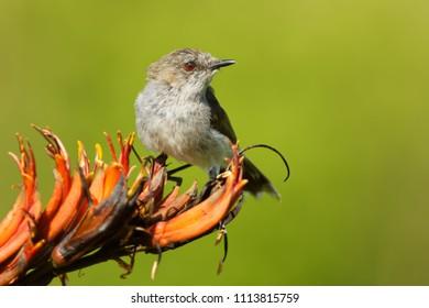 Grey warbler - Gerygone igata  - riroriro common small bird from New Zealand.
