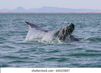 Grey whale Baja Mexico