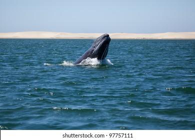 Grey whale breaching, Baja California, Mexico