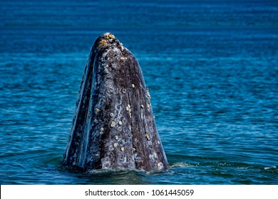 grey whale mother nose going up in the Pacific ocean