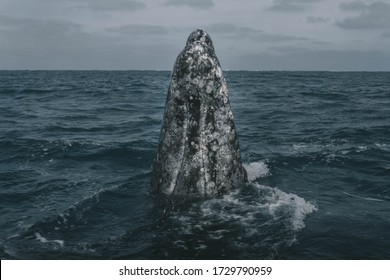 Grey whale's head. Baby whale. Grey whale birthing lagoon. Guerrero Negro. Baja California Sur. Mexico.
