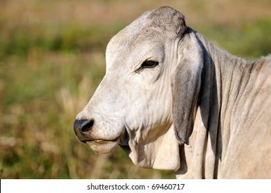 Grey, white, Brahman, cow, bull in Africa