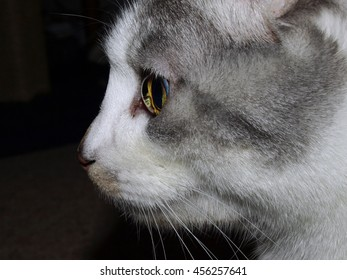 Grey and White Cat Profile - Face