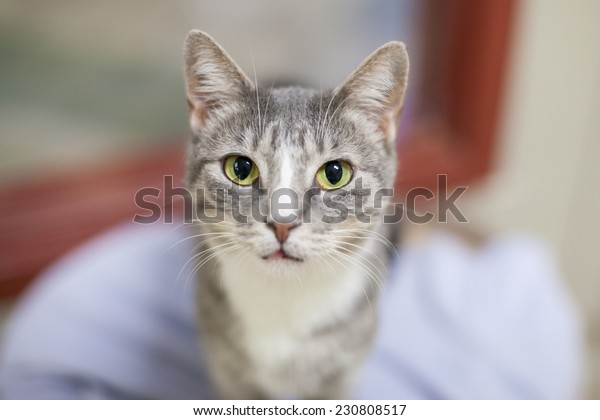 Grey and white cat says hello