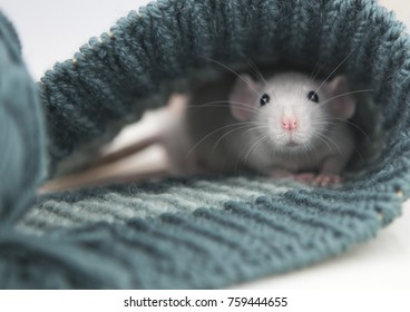 grey and white cute rats