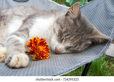 Grey and white domestic cat sleeping on the touristic table with marigold flower