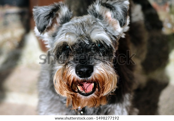 Grey and white Miniature Schnauzer dog