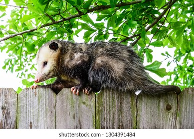 Grey and white opossum on a fence